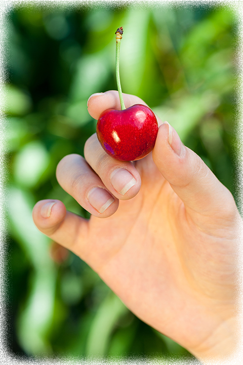 češnje sladke rdeče vipavske nasad bogdan slokar-109