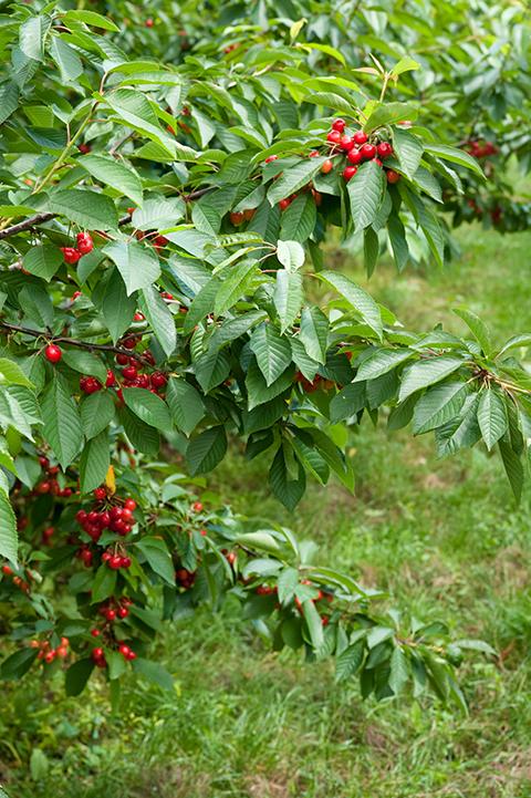 češnje sladke rdeče vipavske nasad bogdan slokar--2