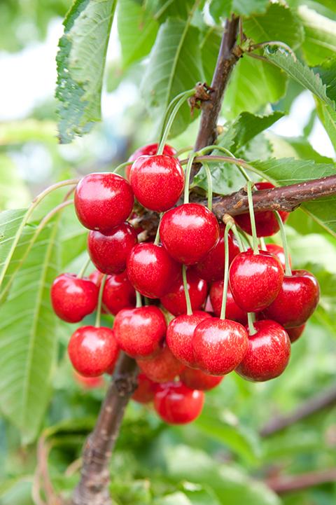 češnje sladke rdeče vipavske nasad bogdan slokar-39